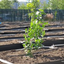 urban orchard (5)