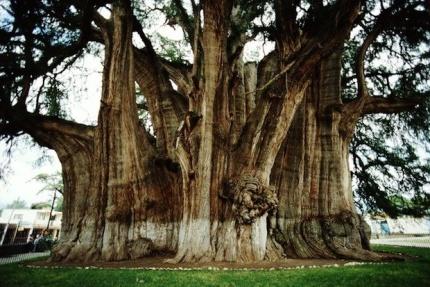 13 The Tule Tree