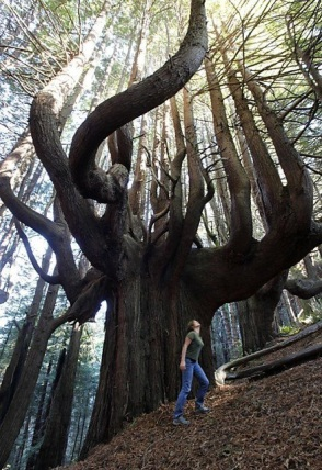 15 - 500 year old candelabra redwoods, CA