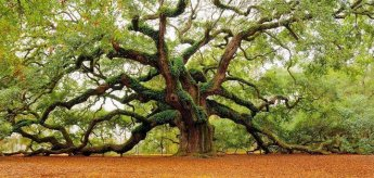 16 Angel Oak - Charleston