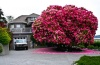 "125+ year-old Rhododendron ""Tree"" - Ladysmith, B.C."