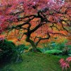 Beautiful Japanese Maple - Portland, Oregon