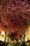 Blooming Cherry Trees - Bonn, Germany