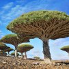 Dragonblood Trees - Yemen