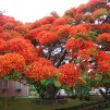 Flamboyant Tree - Brazil